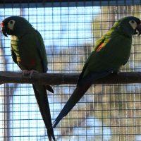 Illiger Macaw